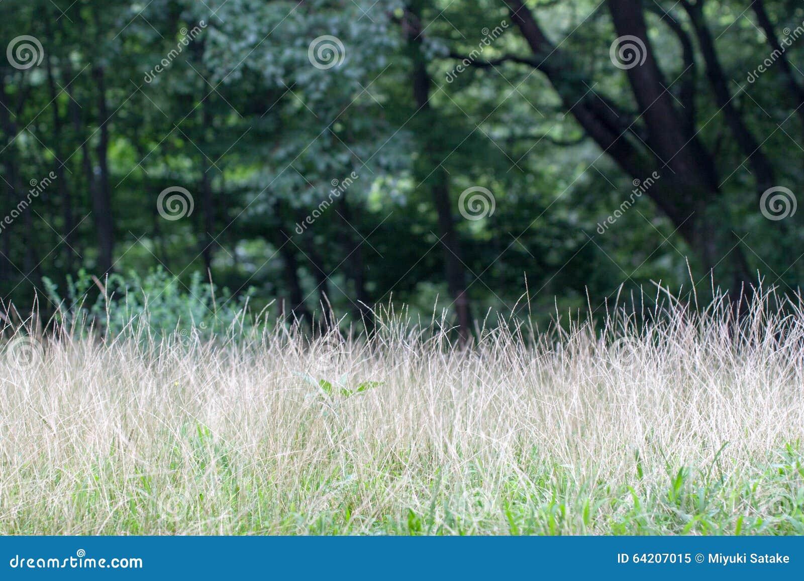 Garranchuelo meridional también conocido como ciliaris del Digitaria