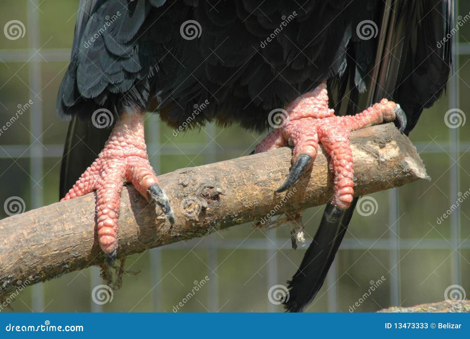 Garras de uma águia do bateleur (ecaudatus de Terathopius)