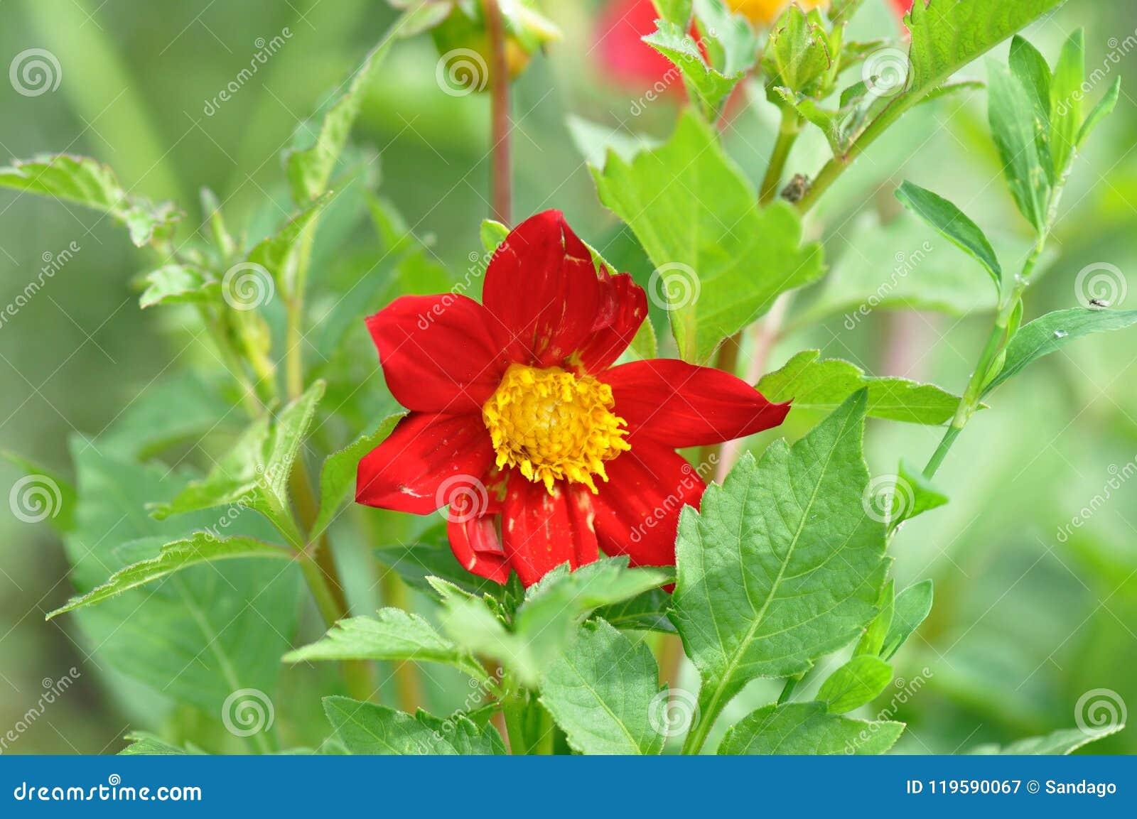 Garten-Dahlie Blume, buschig