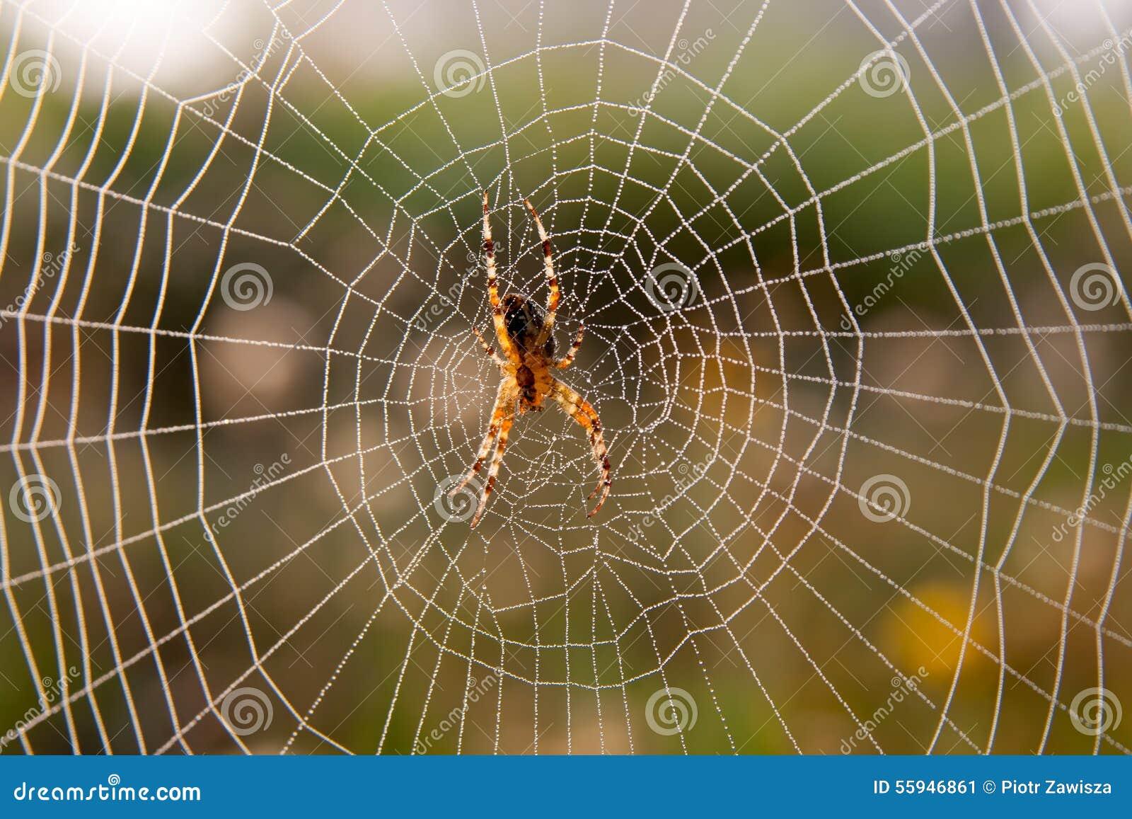 Gartenspinne auf Web
