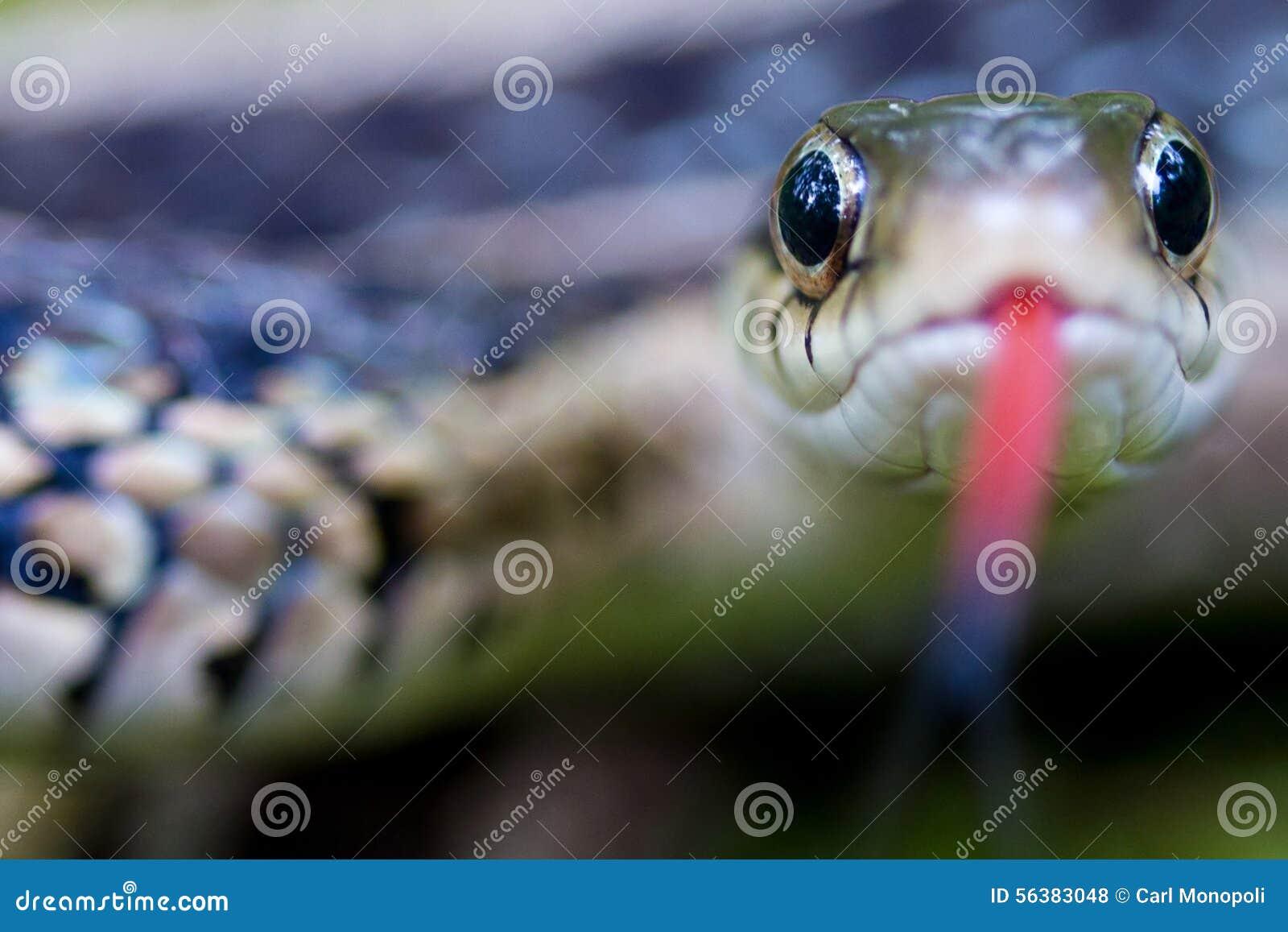 Garter snake eyes