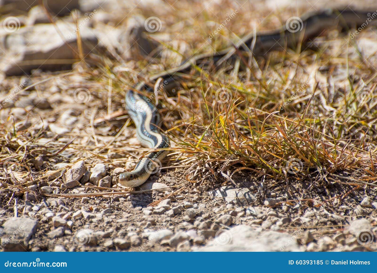 Garter Snake stock image  Image of color, fauna, forked