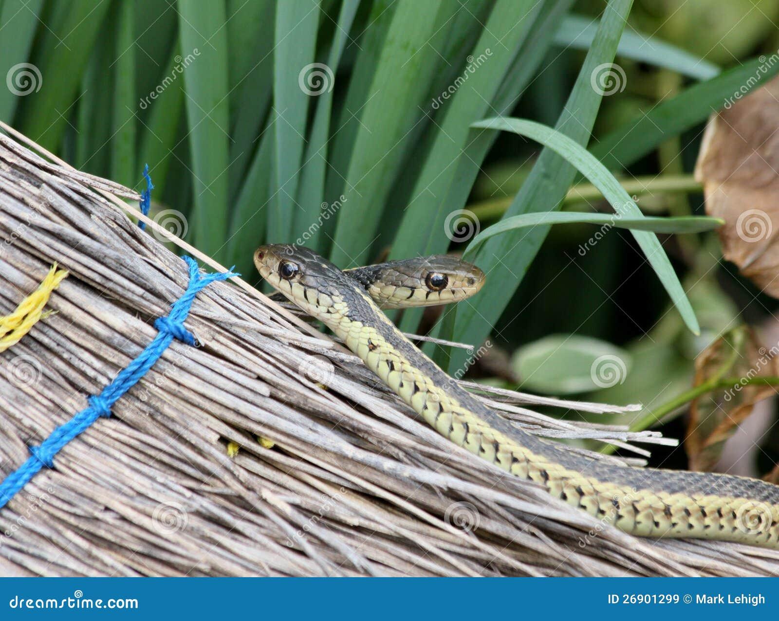 Download Garter snakes and broom stock image. Image of animal - 26901299