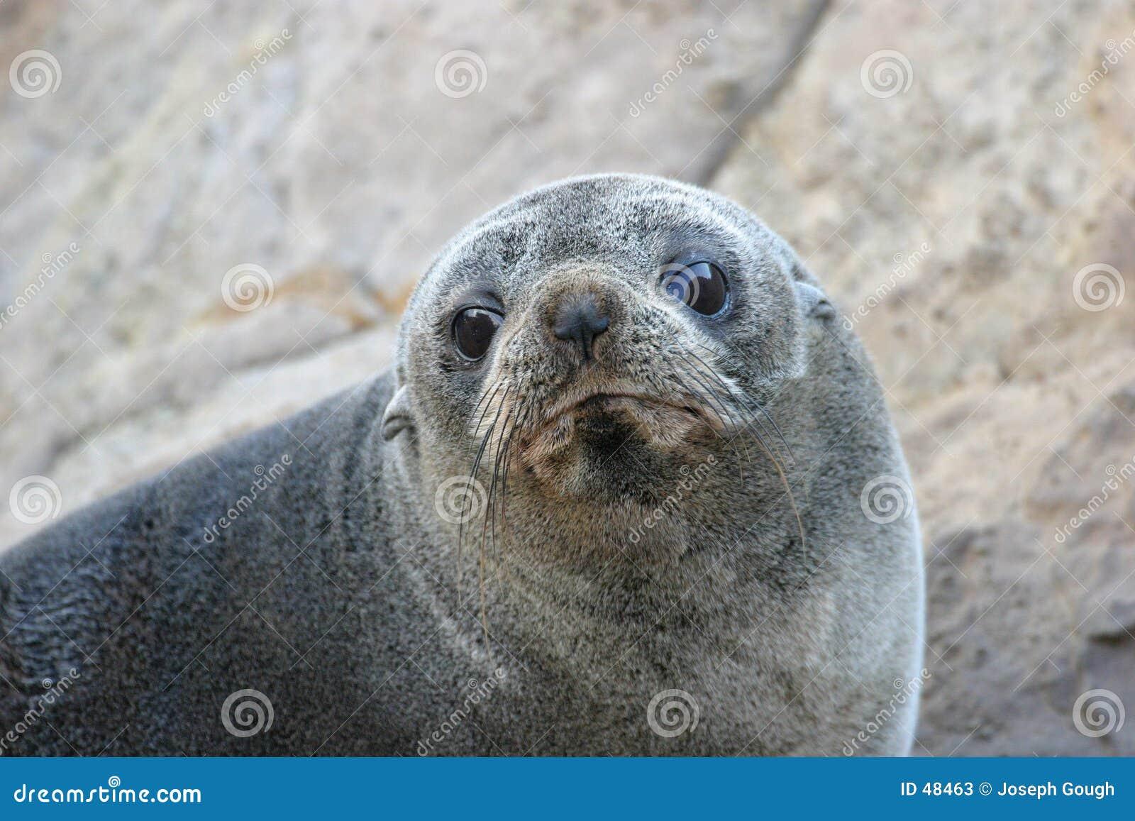Gary o lobo-marinho de Nova Zelândia