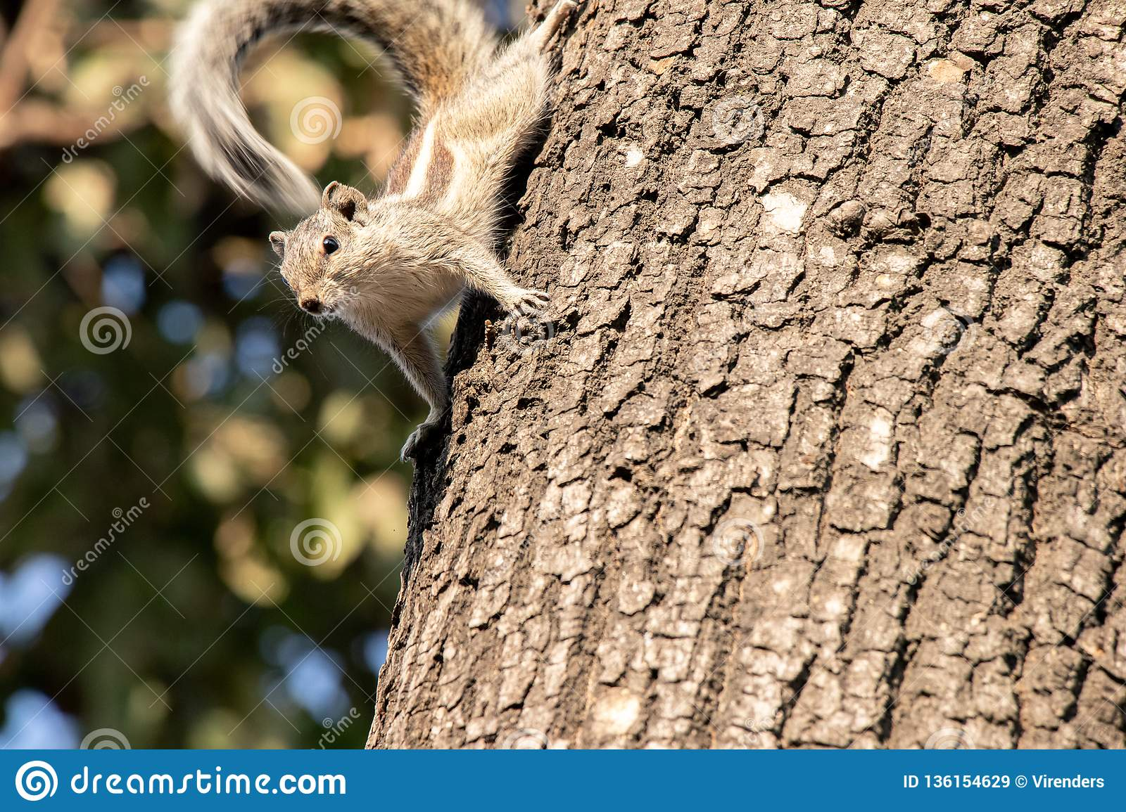 Gary squirrel clinging to a tree