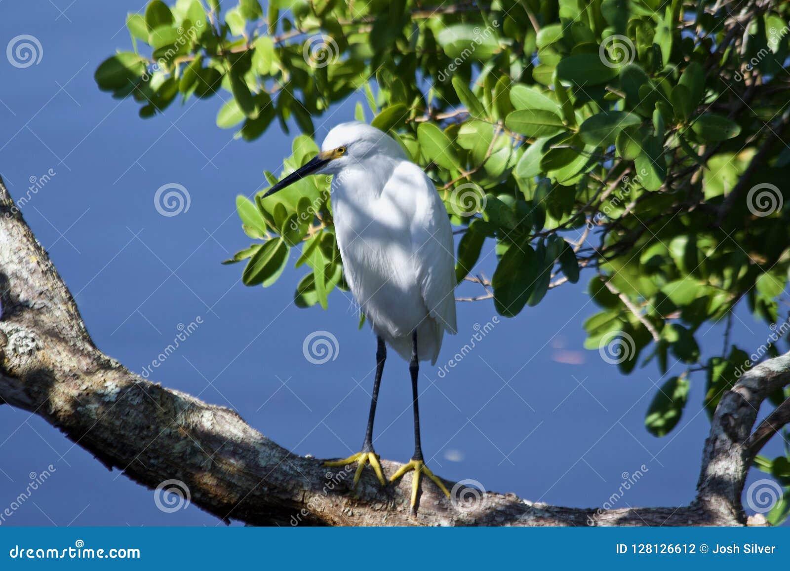 Garza blanca en una rama por el agua