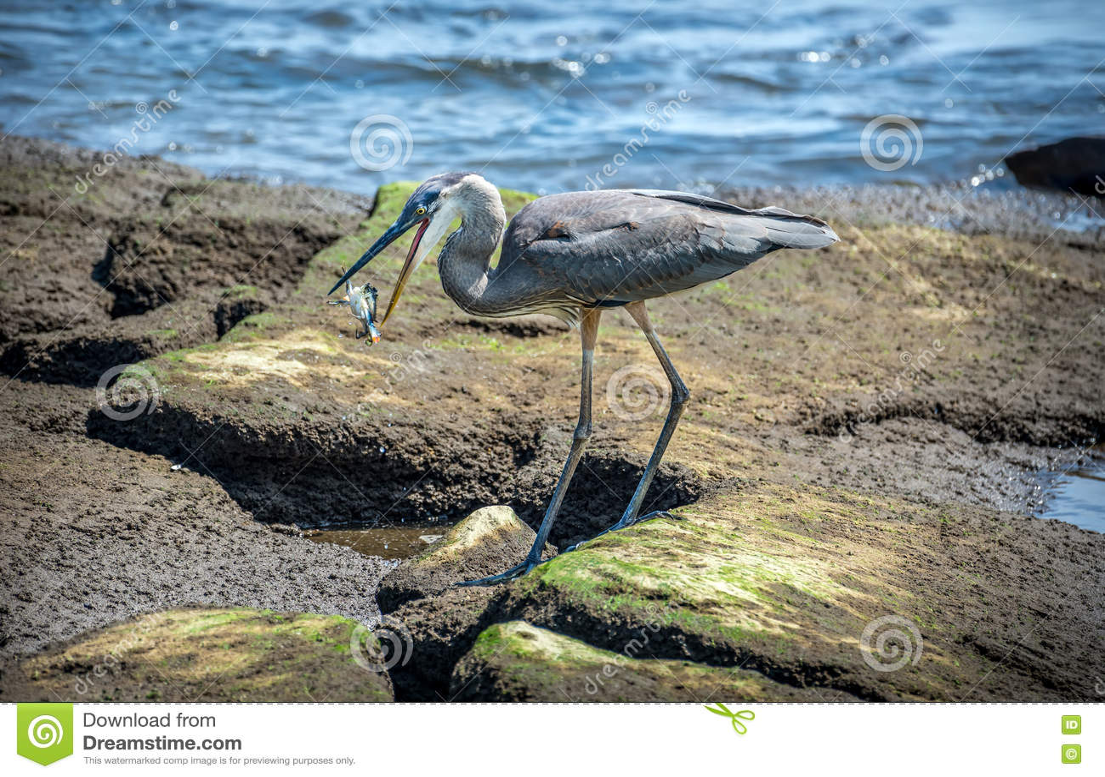 Garza De Gran Azul Que Coge Un Cangrejo Azul En Bahía De Chesapeake ...
