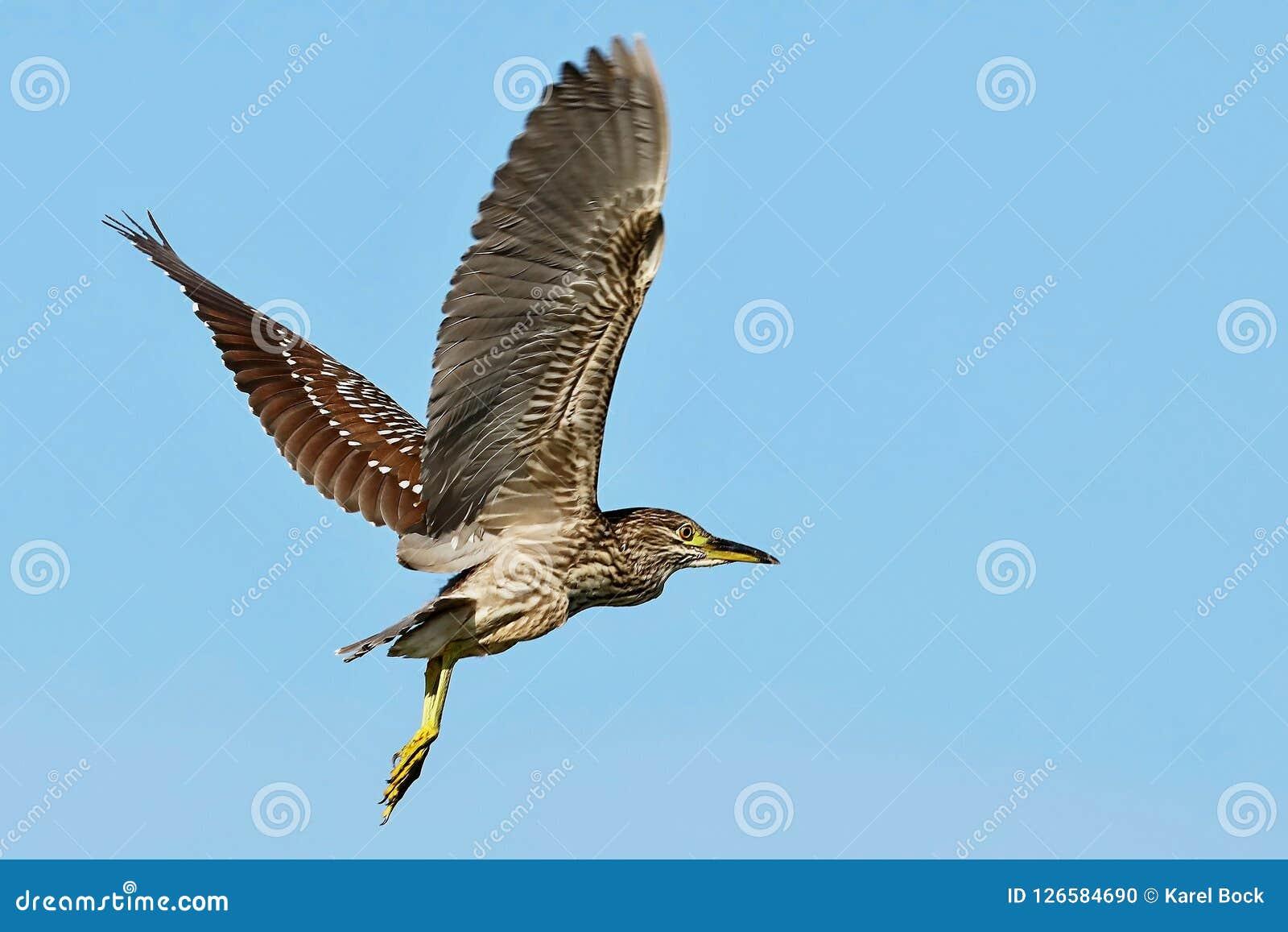Garza de noche Negro-coronada jóvenes en vuelo