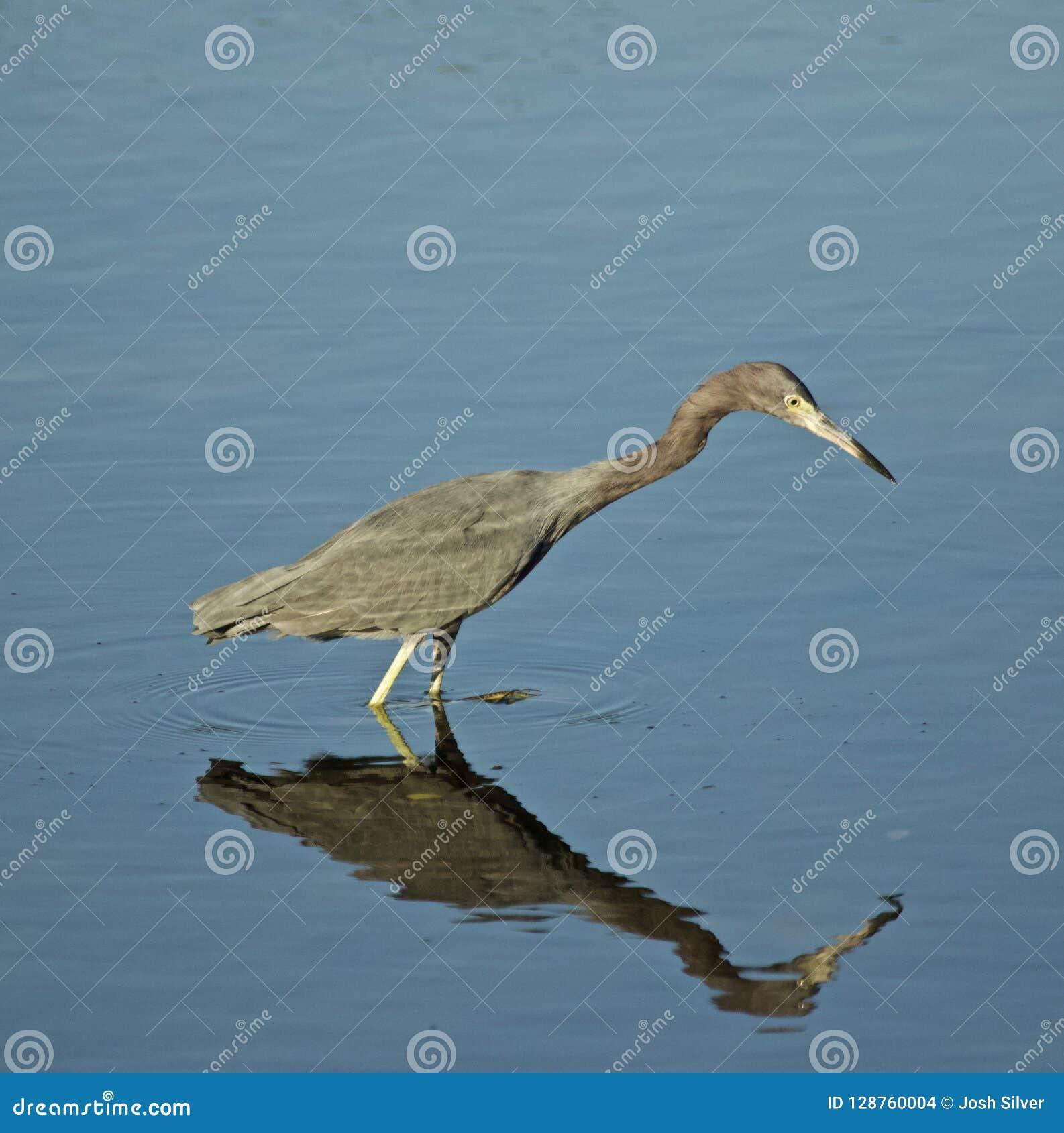 Garza de pequeño azul que busca pescados