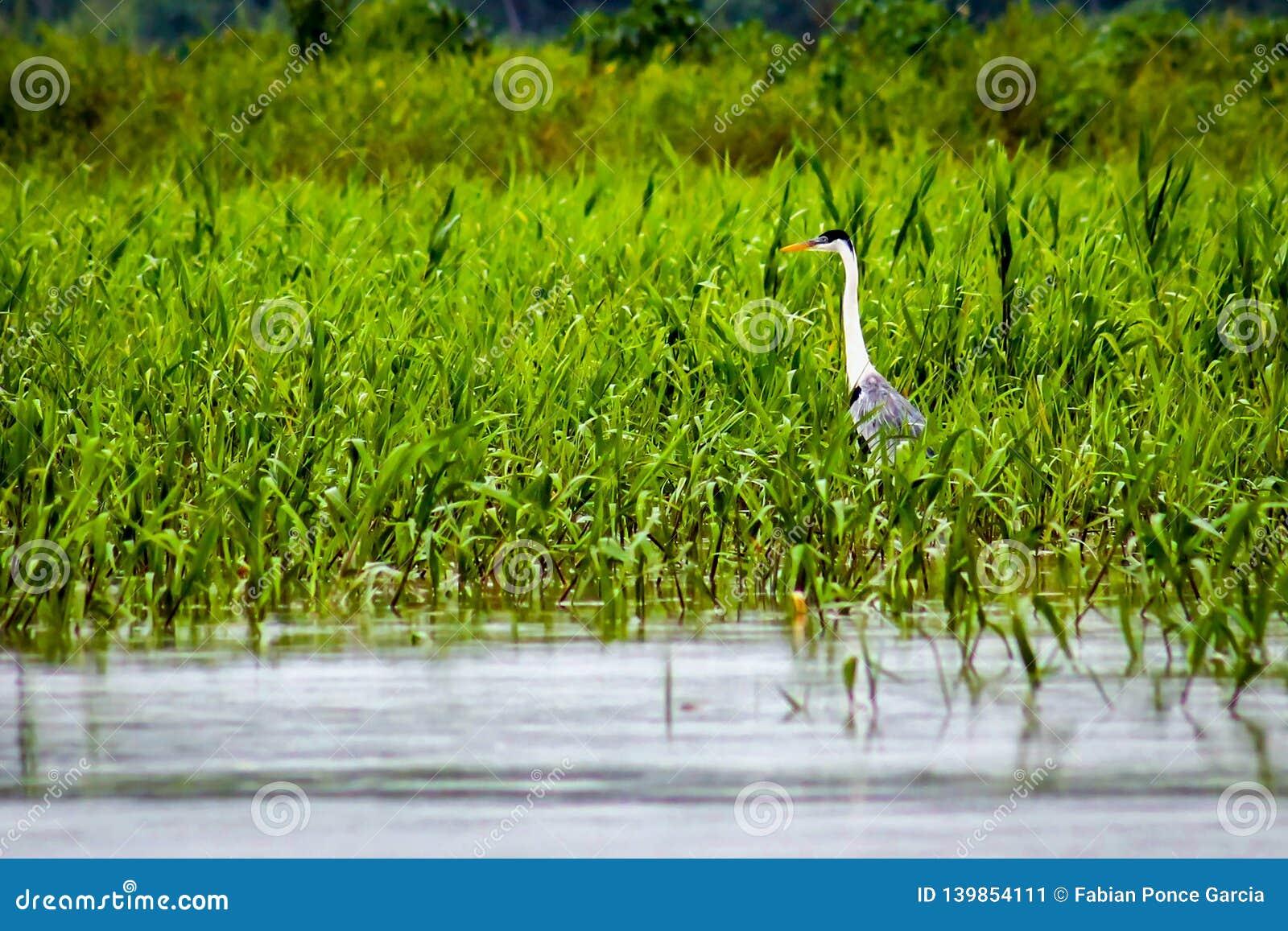 Garza que camina en el lago entre la maleza