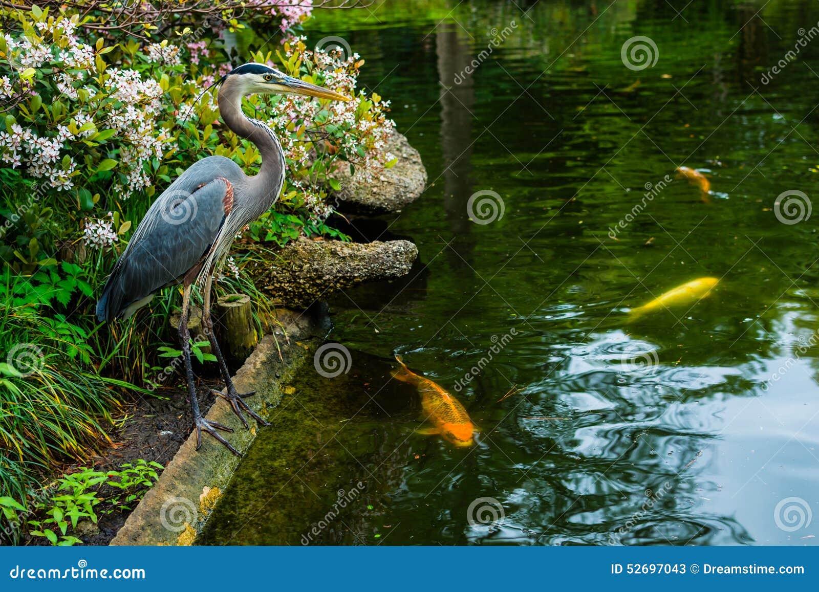 Garza y koi en el estanque de peces japon s foto de for Estanque peces koi