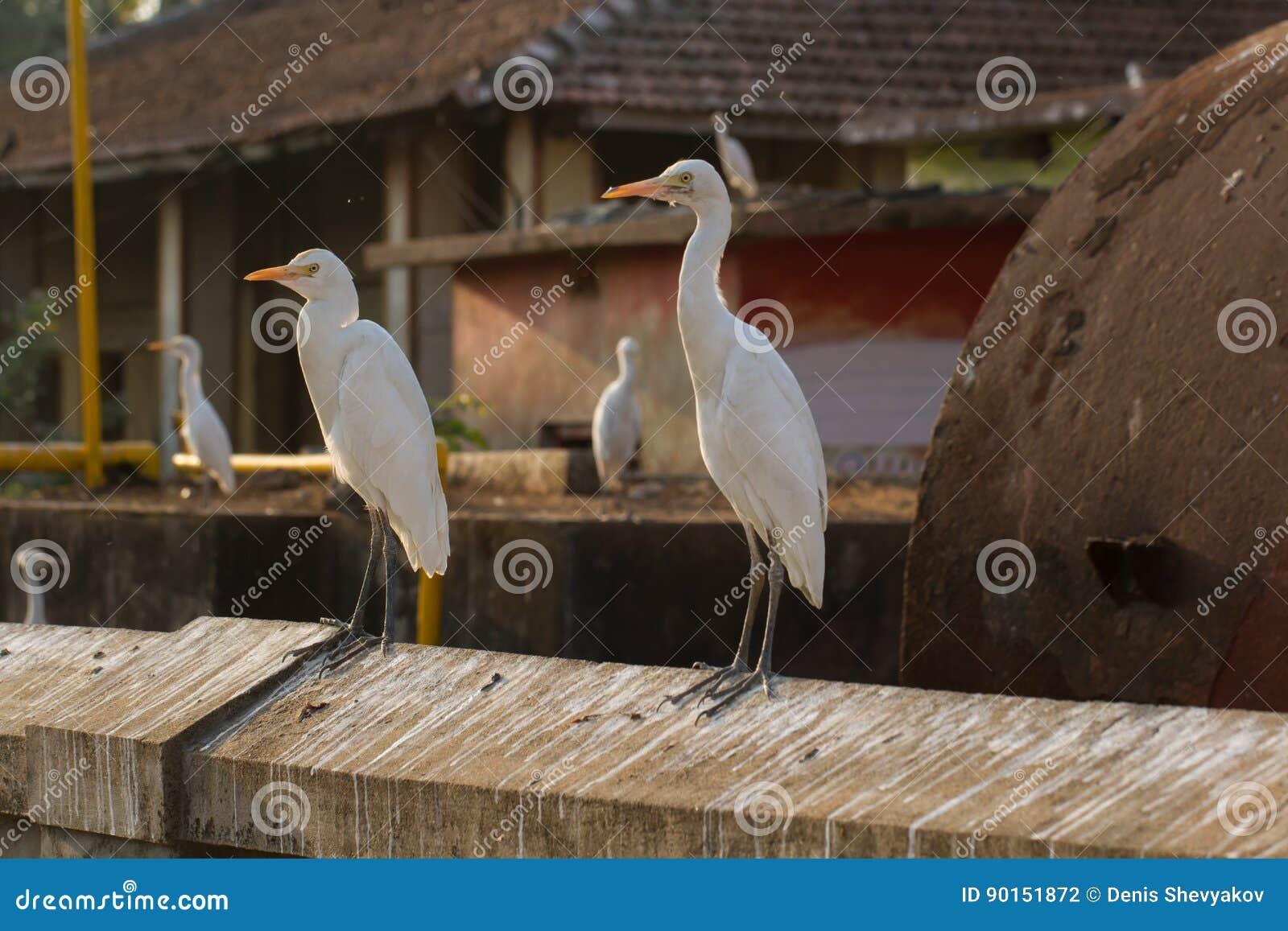 Garzas chinas blancas en la pared Pared con los rastros de literas del pájaro