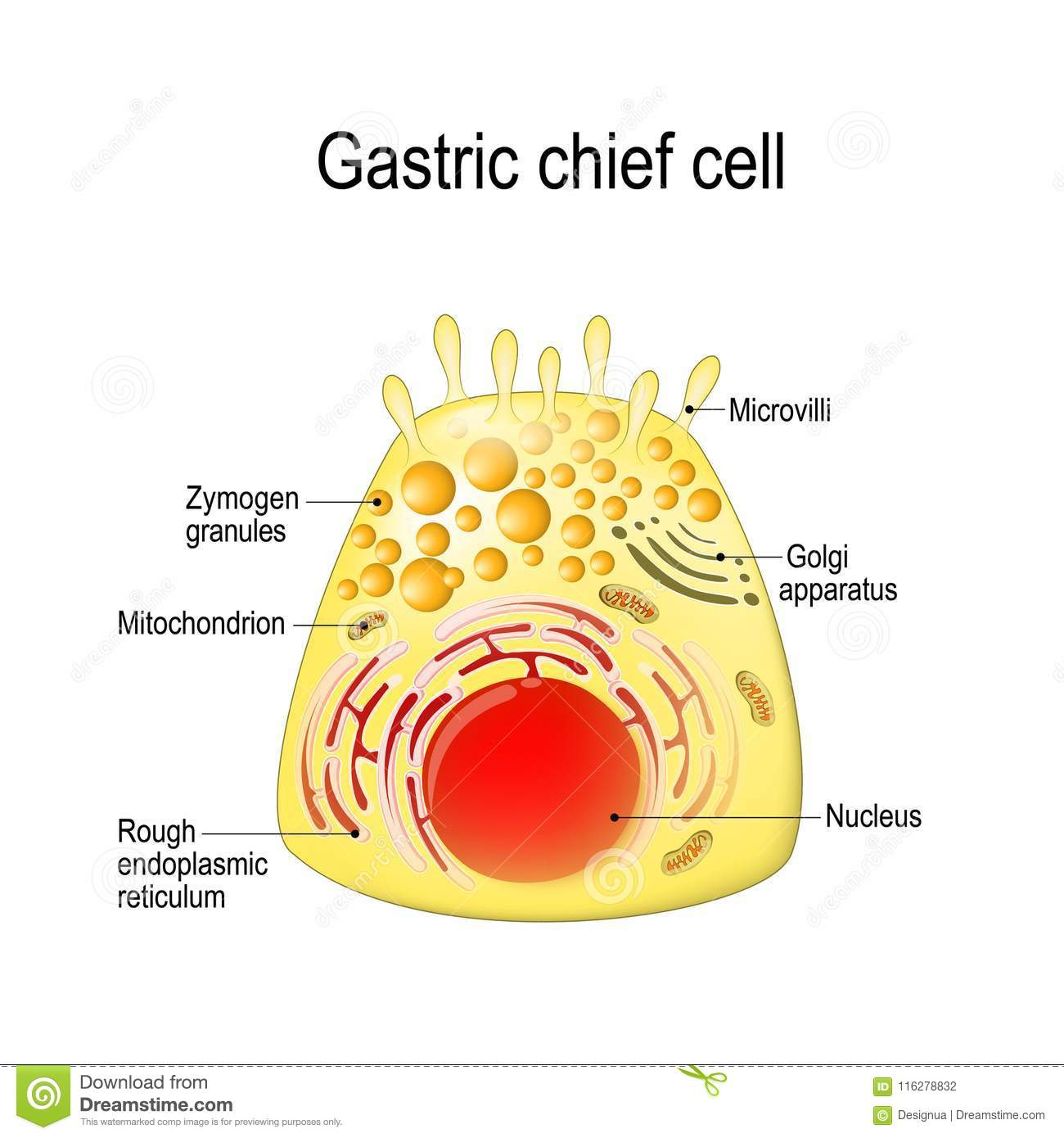 gastric chief peptic, gastric zymogenic cell. stock vector - illustration  of diagram, gastric: 116278832  dreamstime.com