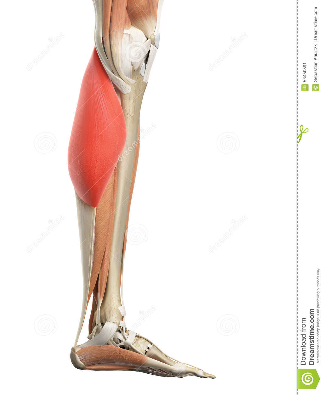 The Gastrocnemius Medial Head Stock Illustration Illustration Of