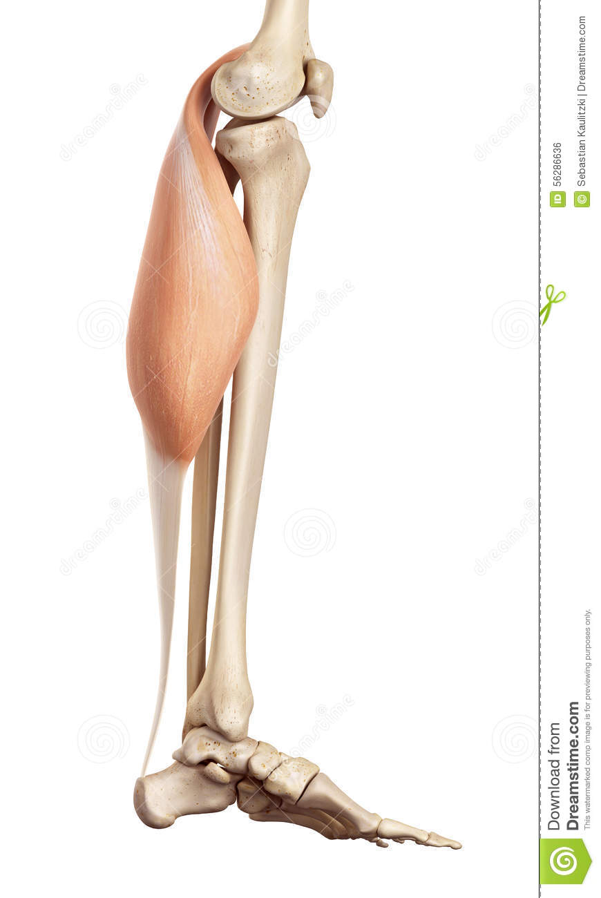 The Gastrocnemius Stock Illustration Illustration Of Limb 56286636