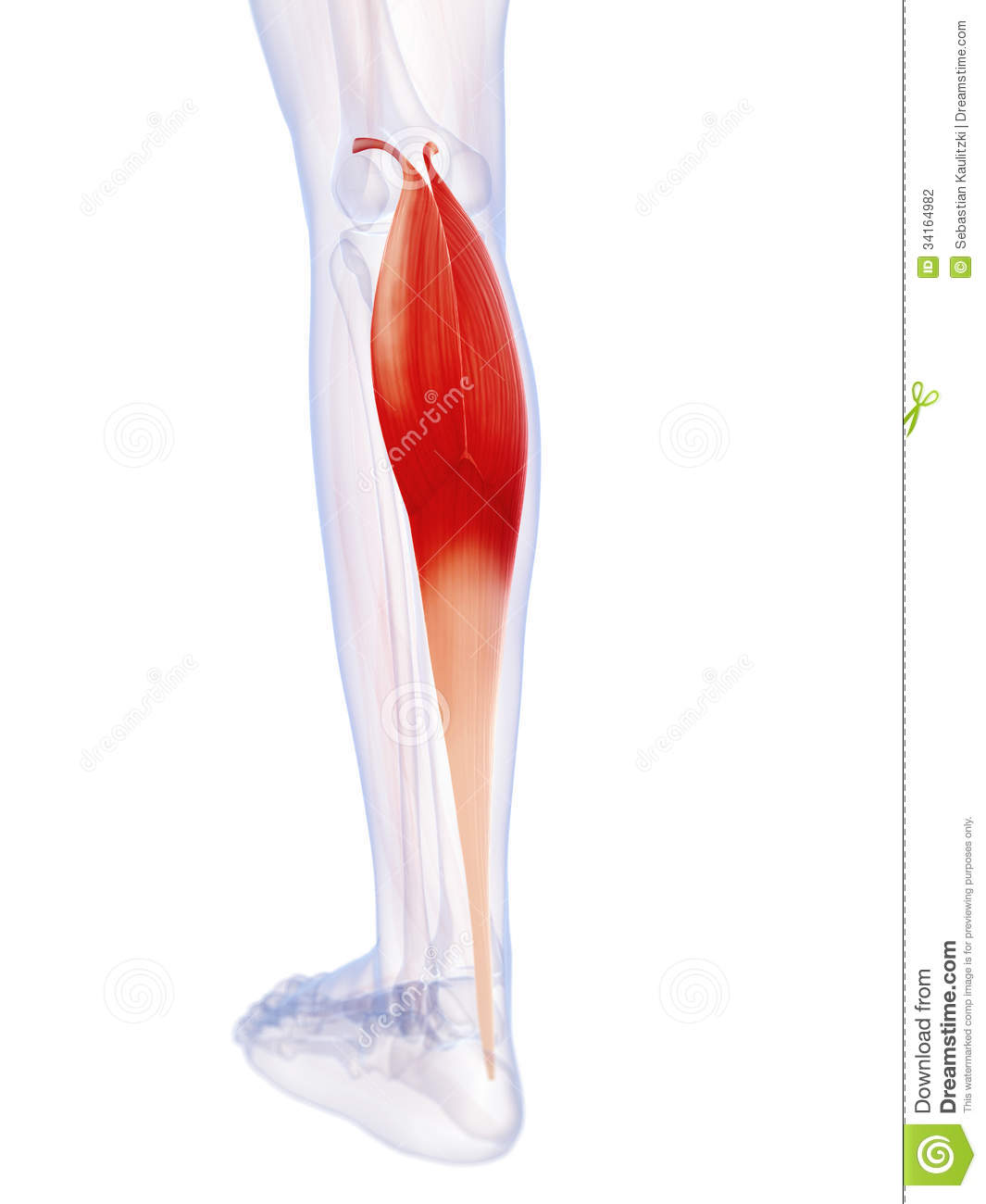 The Gastrocnemius Muscle Stock Illustration Illustration Of Lower