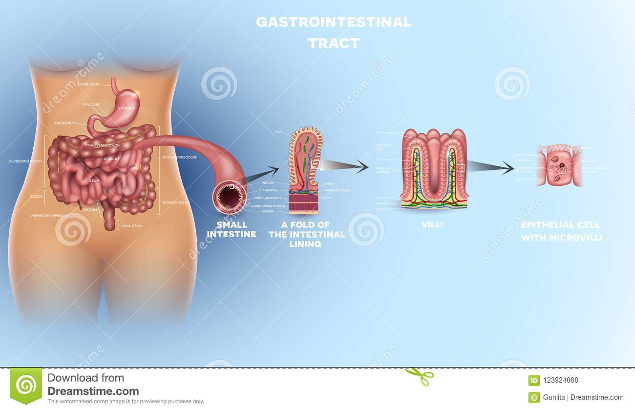Gastrointestinal Tract Detailed Anatomy Stock Vector - Illustration ...