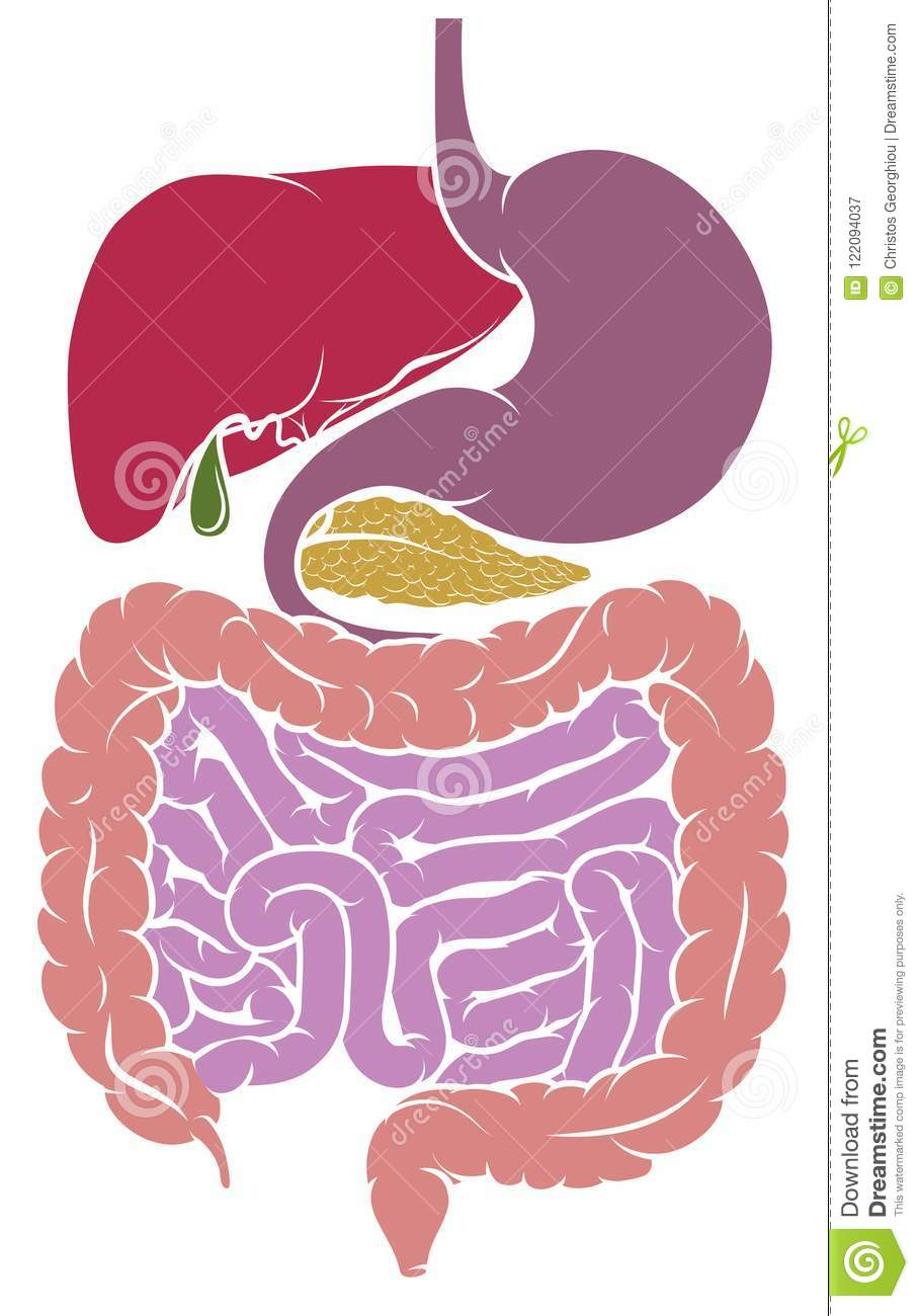 Human Anatomy Digestive System Tract Diagram Stock Vector