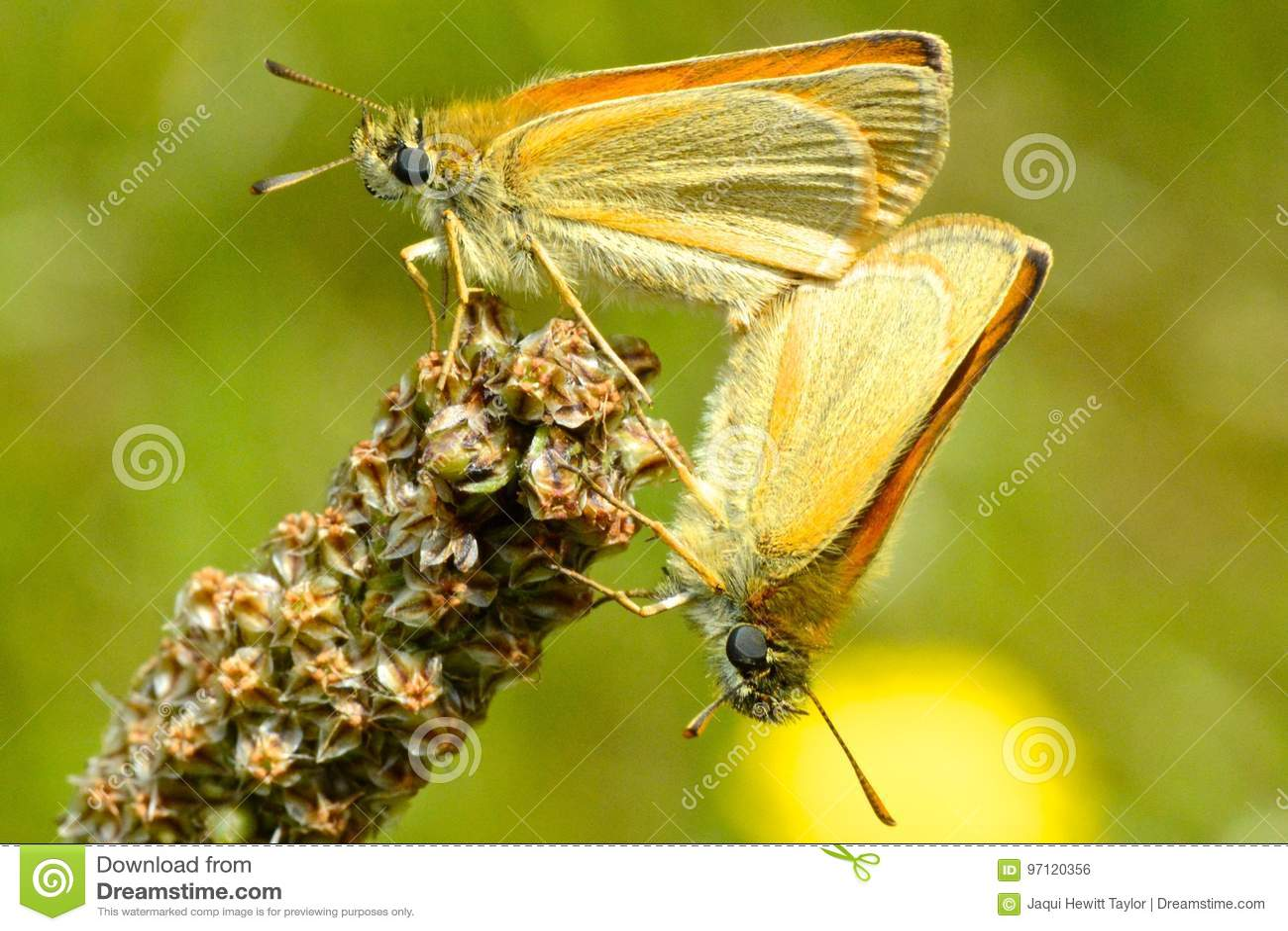 Gatekeeper butterflies mating