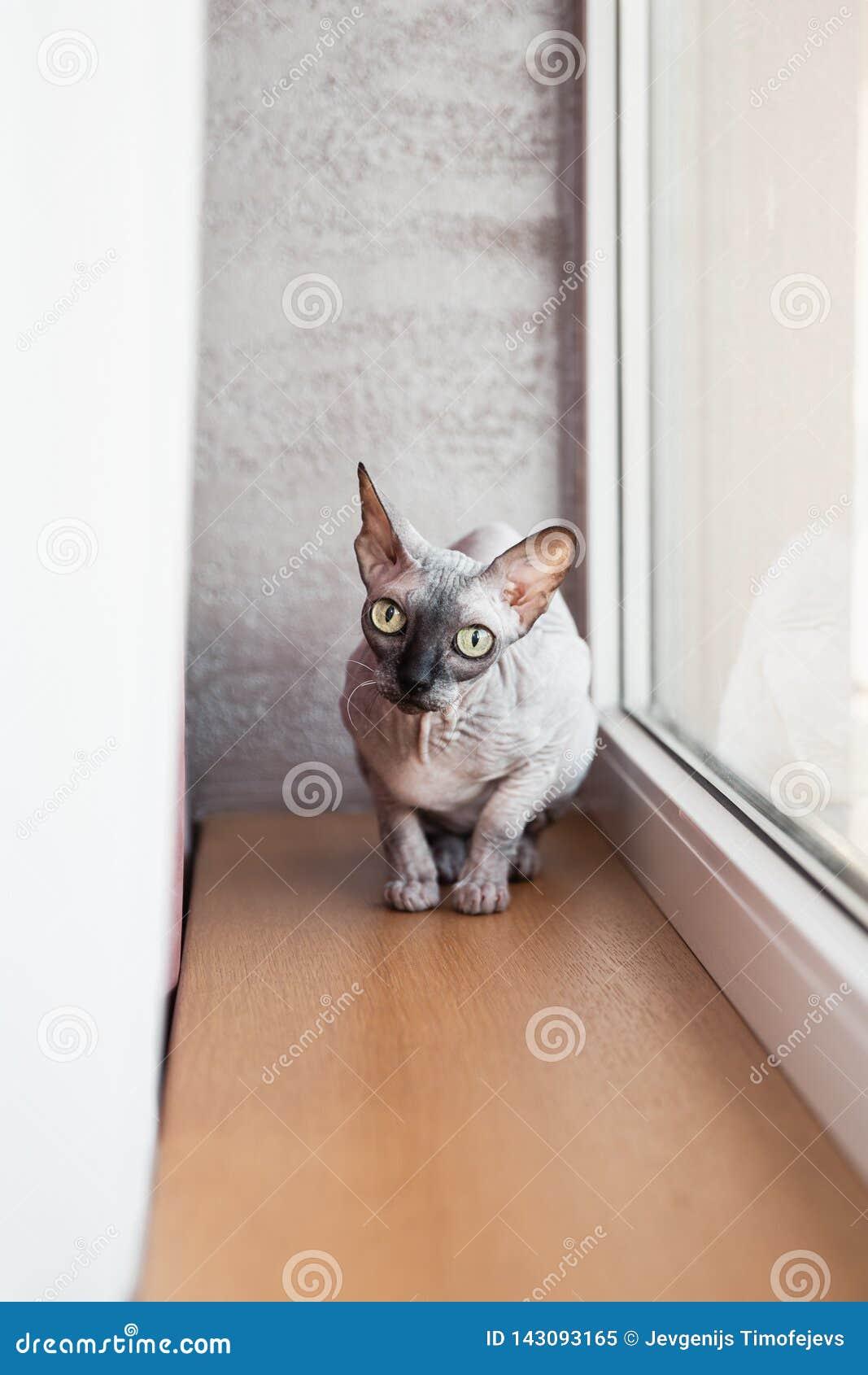 Gatinho calvo canadense de Sphynx que senta-se perto de uma janela brilhante grande