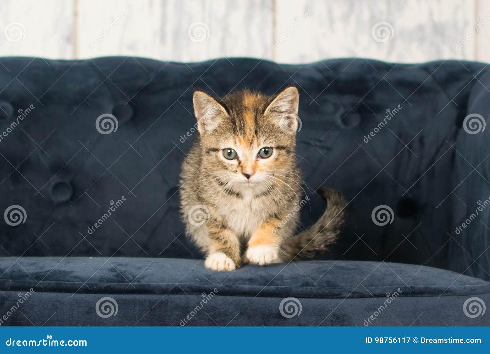 Gatinho da chita do gato malhado