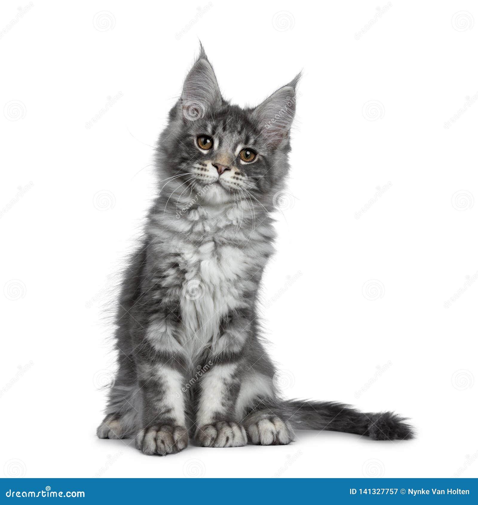 Gatinho de prata azul de sorriso do gato de Maine Coon no fundo branco