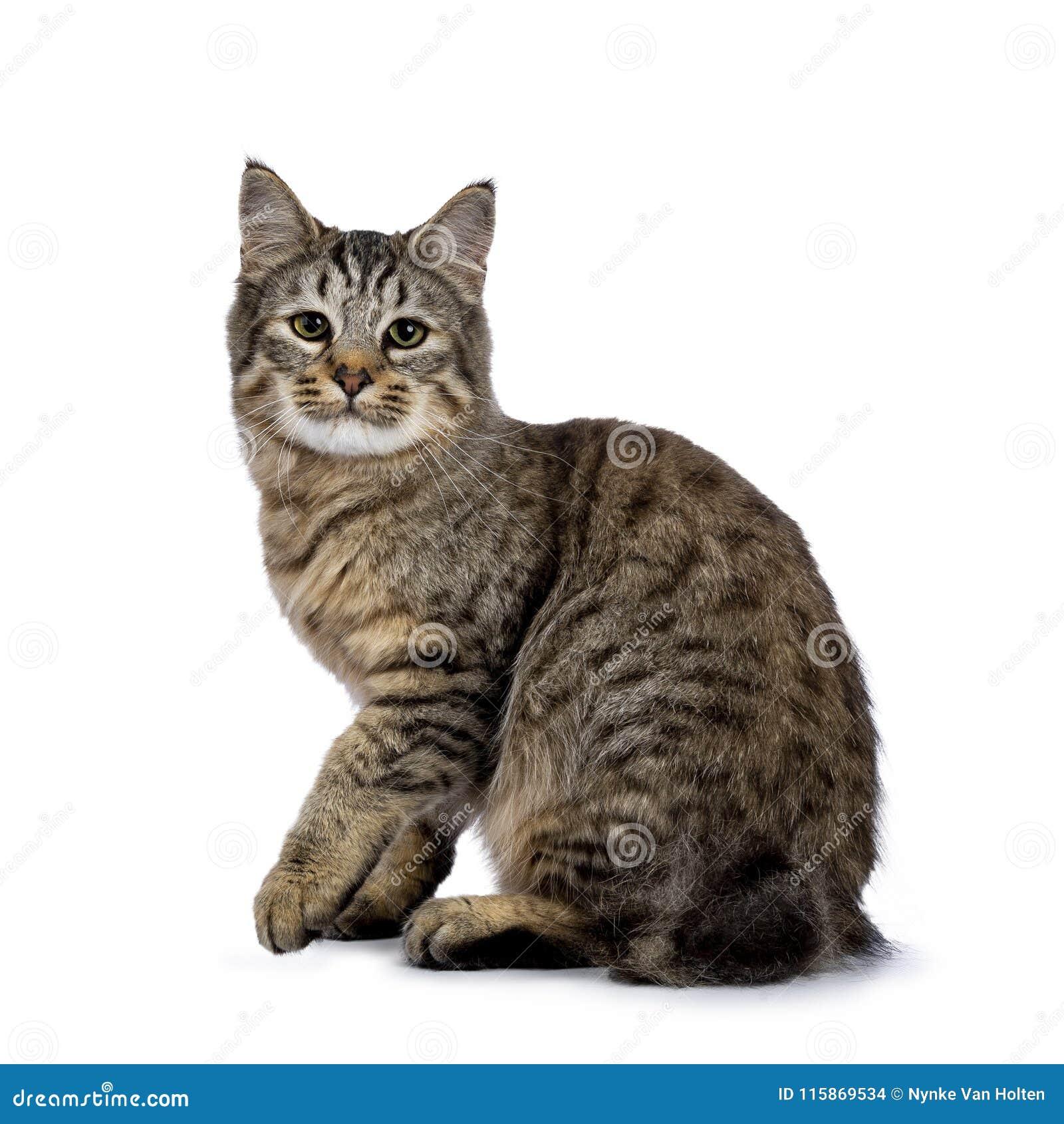 Gatinho do gato de Pixie Bob que senta as maneiras laterais isoladas no fundo branco e que olha na lente com a uma pata levantada