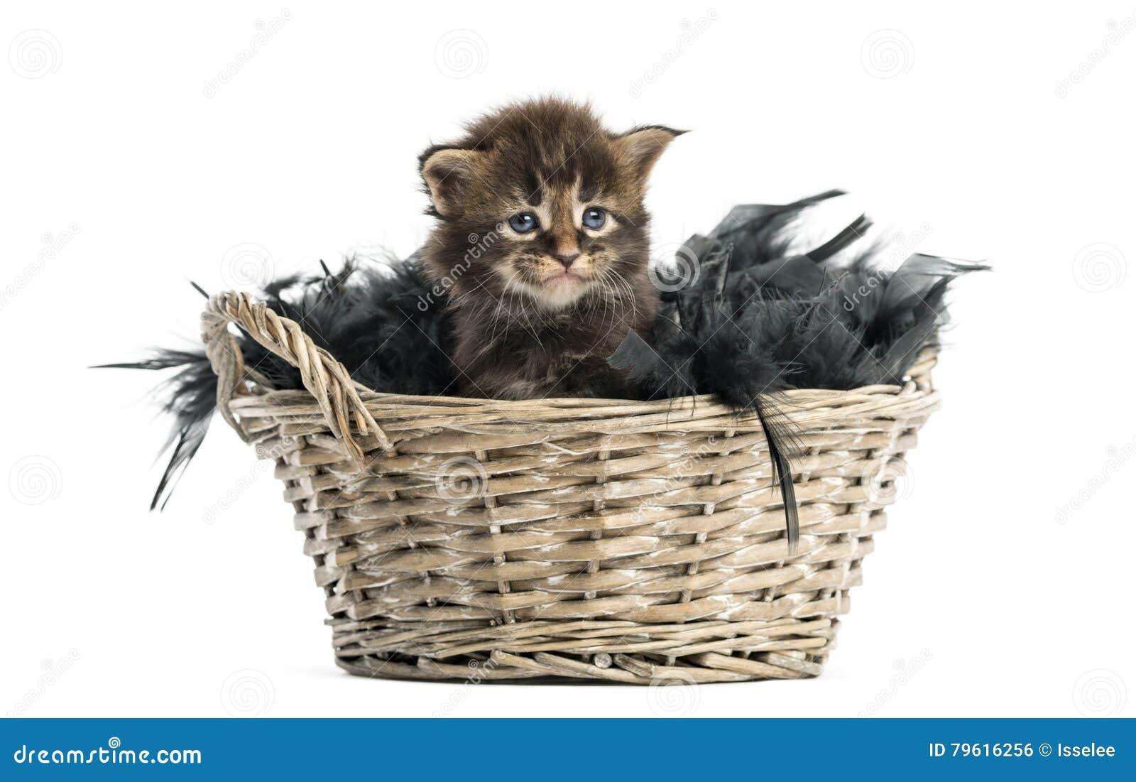 Gatinho do racum de Maine que sai de uma cesta do animal de estimação