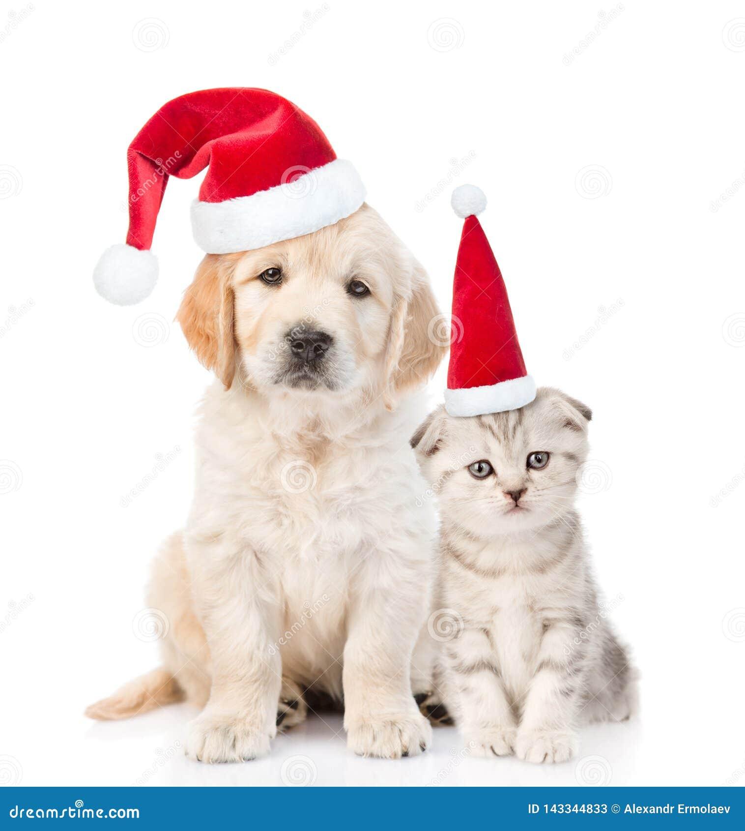 Gatinho e cachorrinho engraçados do golden retriever em chapéus vermelhos do Natal junto Isolado no fundo branco