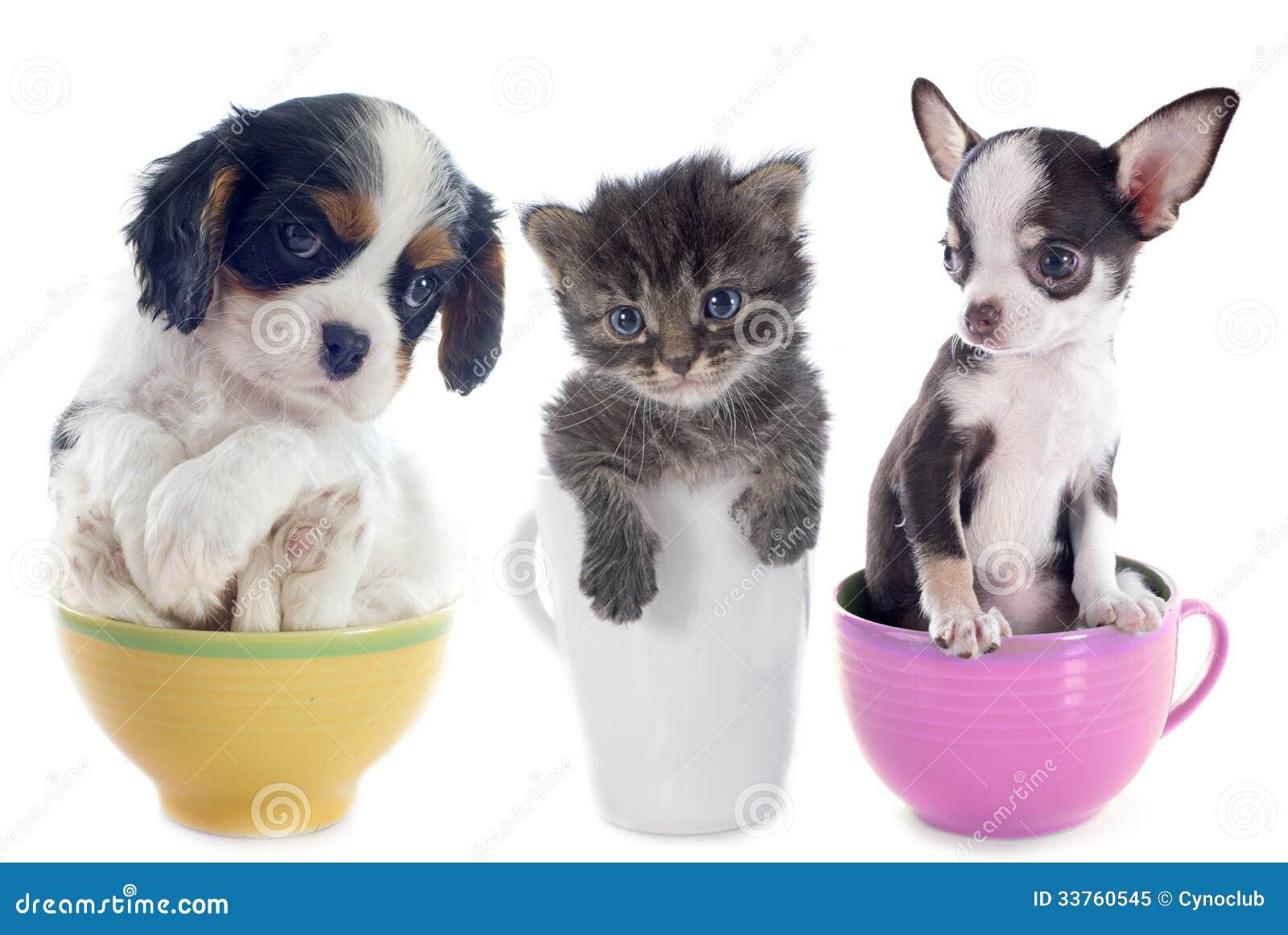 Gatinho e cachorrinhos na xícara de chá