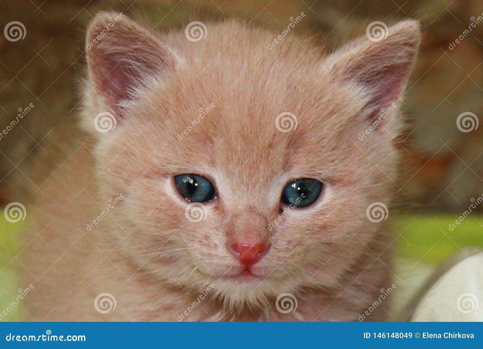 Gatinho pequeno do gengibre com olhos azuis em um fundo verde