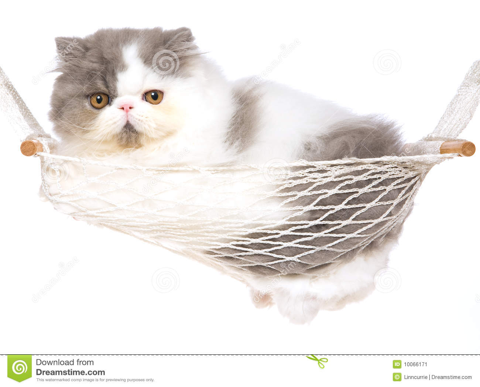 Gatinho persa bonito no hammock