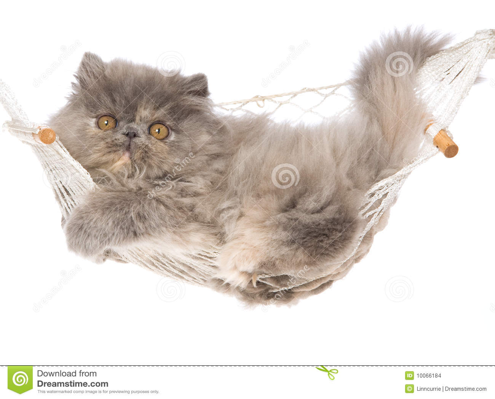 Gatinho persa de creme azul de Tortie no hammock