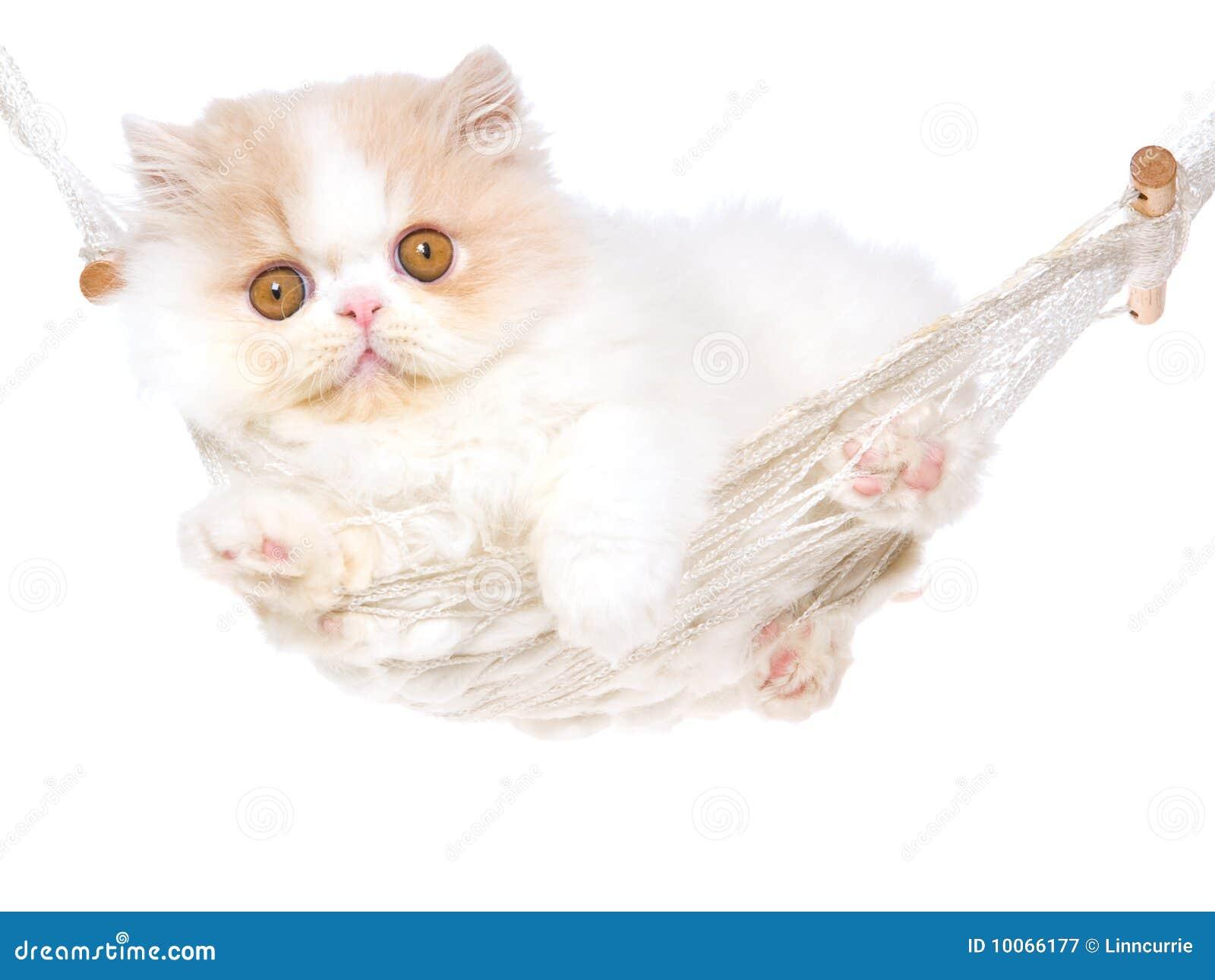 Gatinho persa de creme bonito no hammock