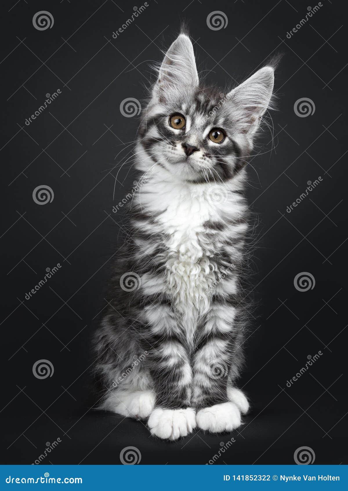 Gatinho preto de prata bonito do gato de Maine Coon do gato malhado no fundo preto
