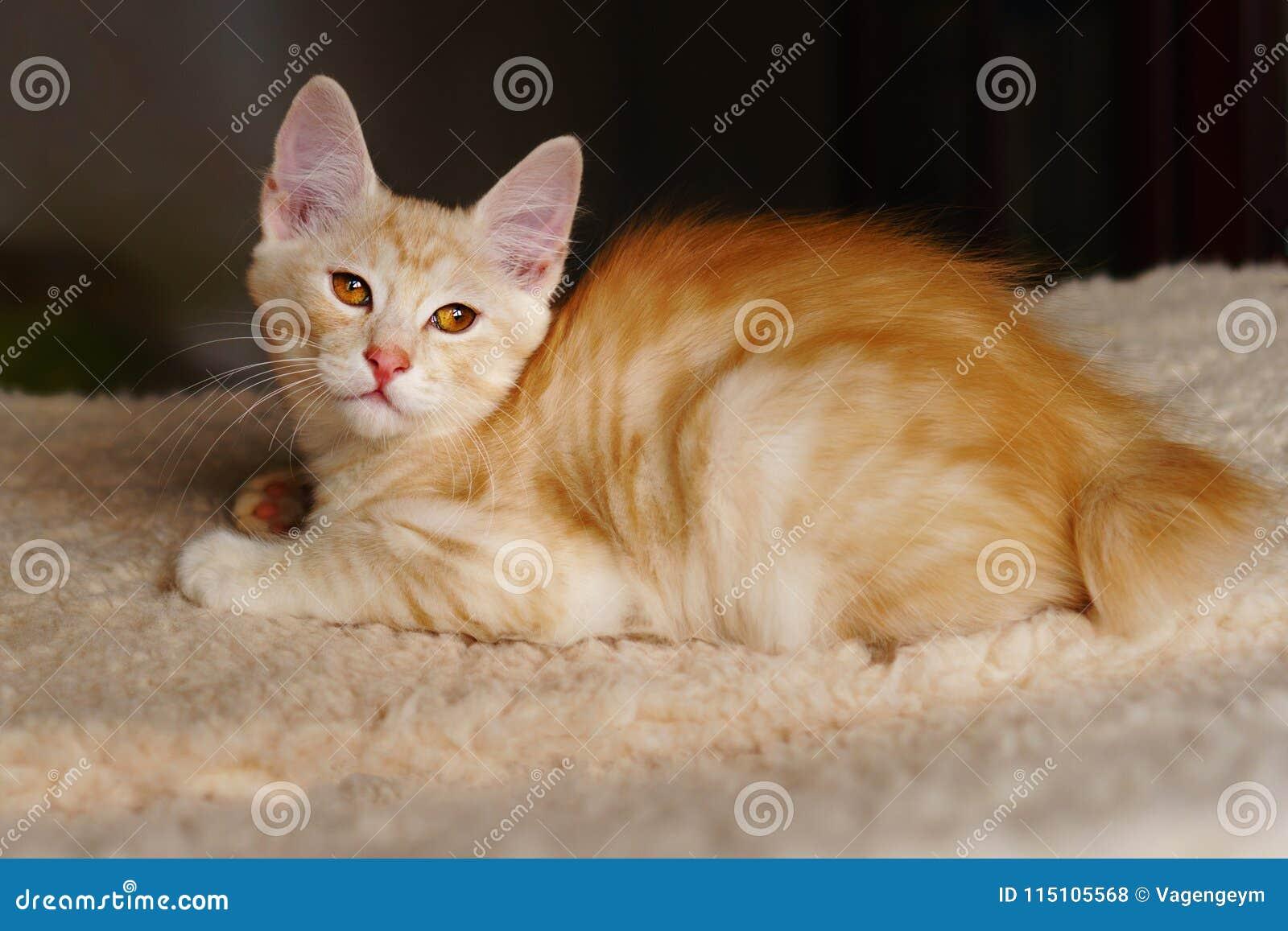 Gatinho vermelho bonito