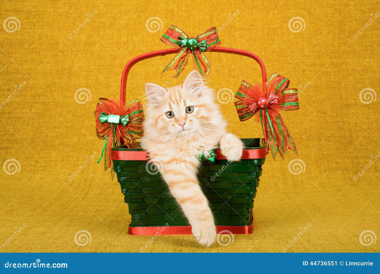 Gatinho vermelho de Tabby Siberian Forest Cat que senta-se dentro da cesta verde do Natal no fundo do ouro