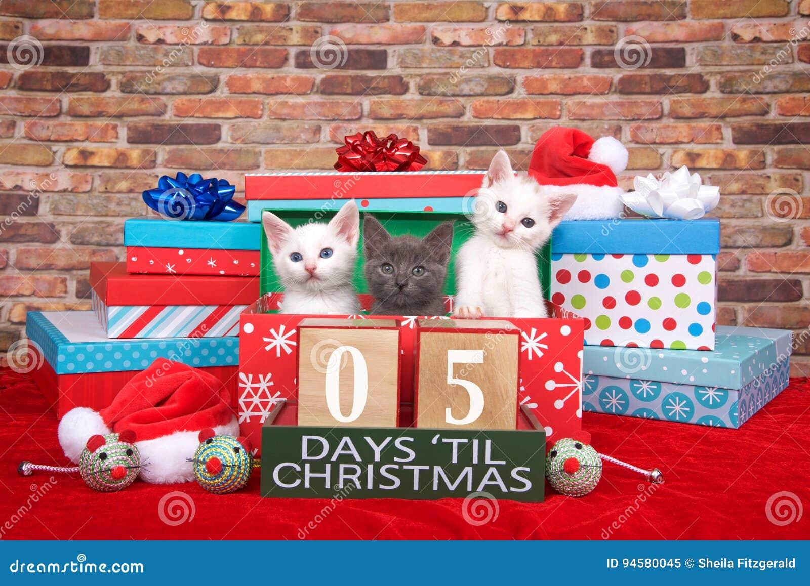 Gatinhos cinco dias até o Natal