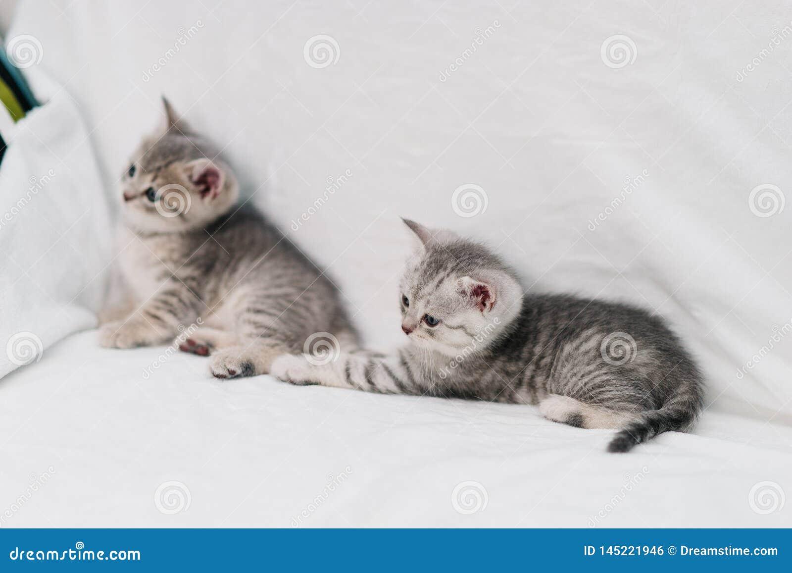 Gatinhos cinzentos que jogam em um sofá branco