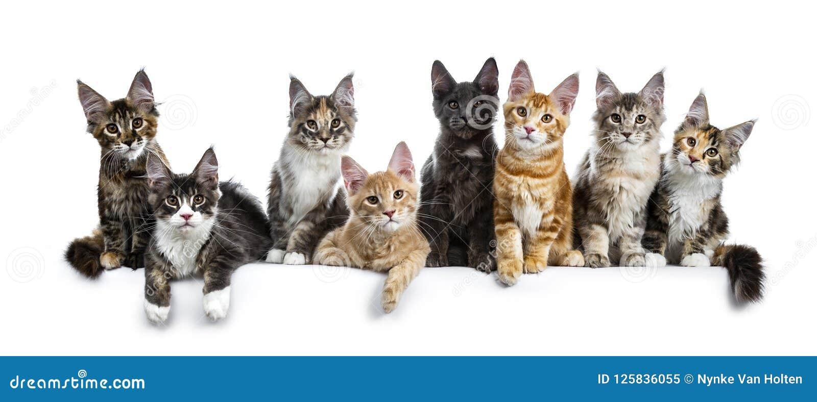 Gatinhos coloridos do gato de Maine Coon da fileira/Grupo dos Oito multi isolados em um fundo branco