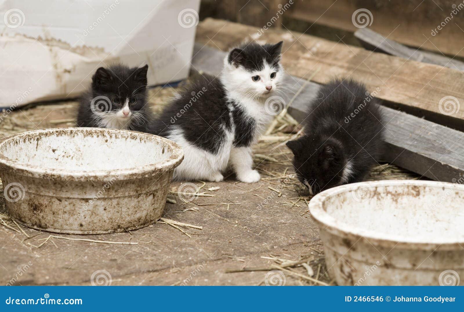 Gatinhos do celeiro