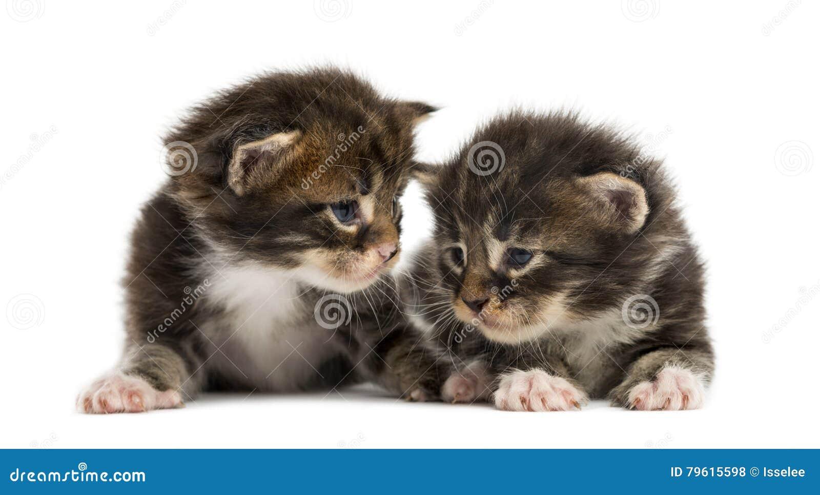 Gatinhos do racum de Maine que interagem