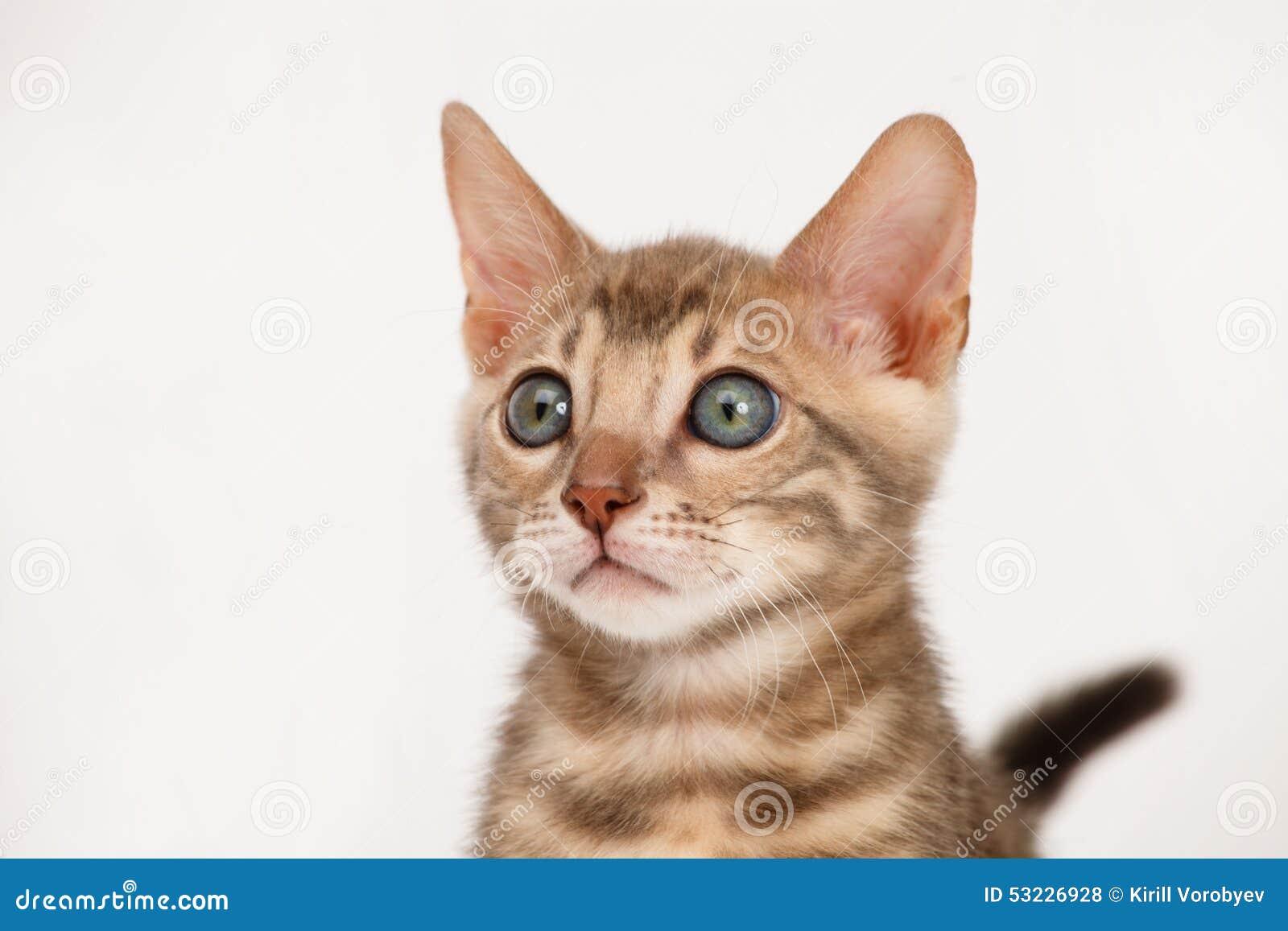 Gatito azul de Bengala