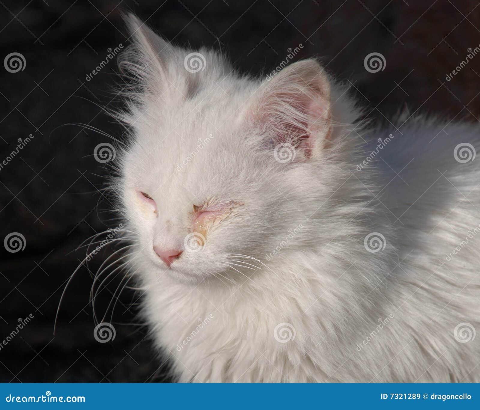 Gatito blanco con la infección de ojo