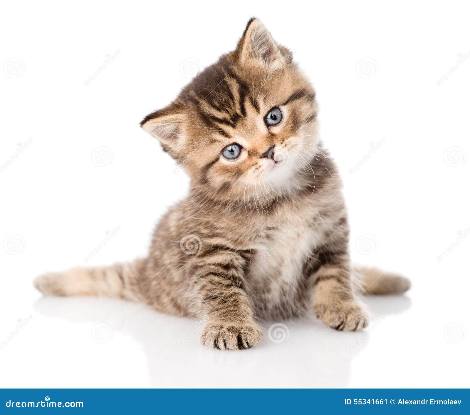 Gatito brit nico del gato atigrado del beb que se sienta - Gatitos de un mes ...