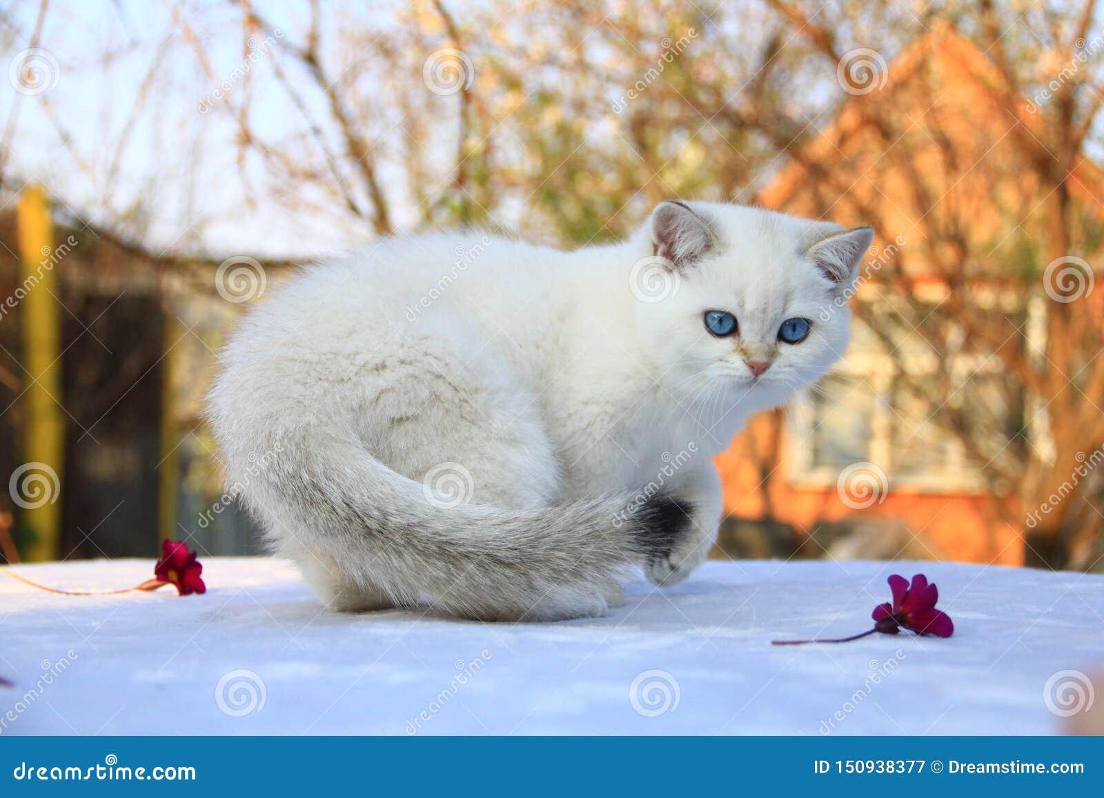 Gatito británico del shorthair con los ojos azules