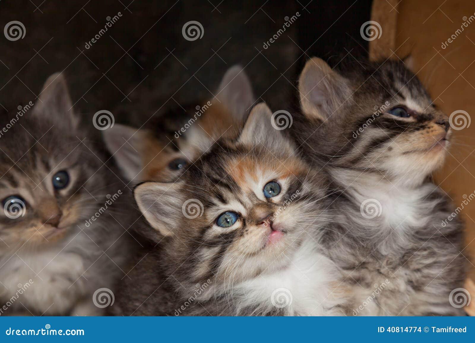 Gatito del calicó