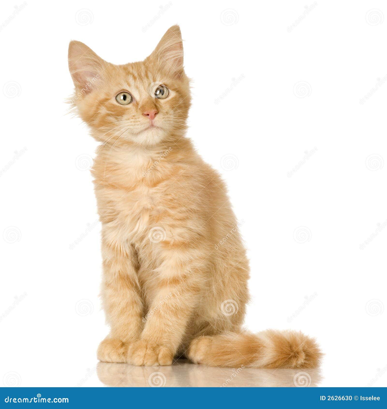 Gatito del gato del jengibre