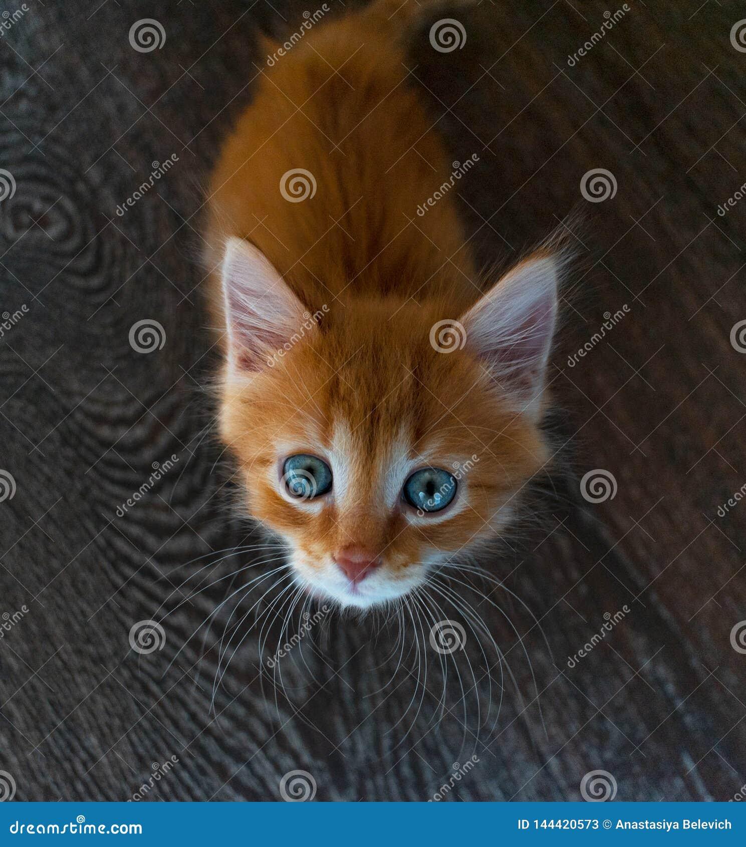 Gatito del jengibre con los ojos azules en un fondo de madera gato que mira la cámara de abajo hacia arriba