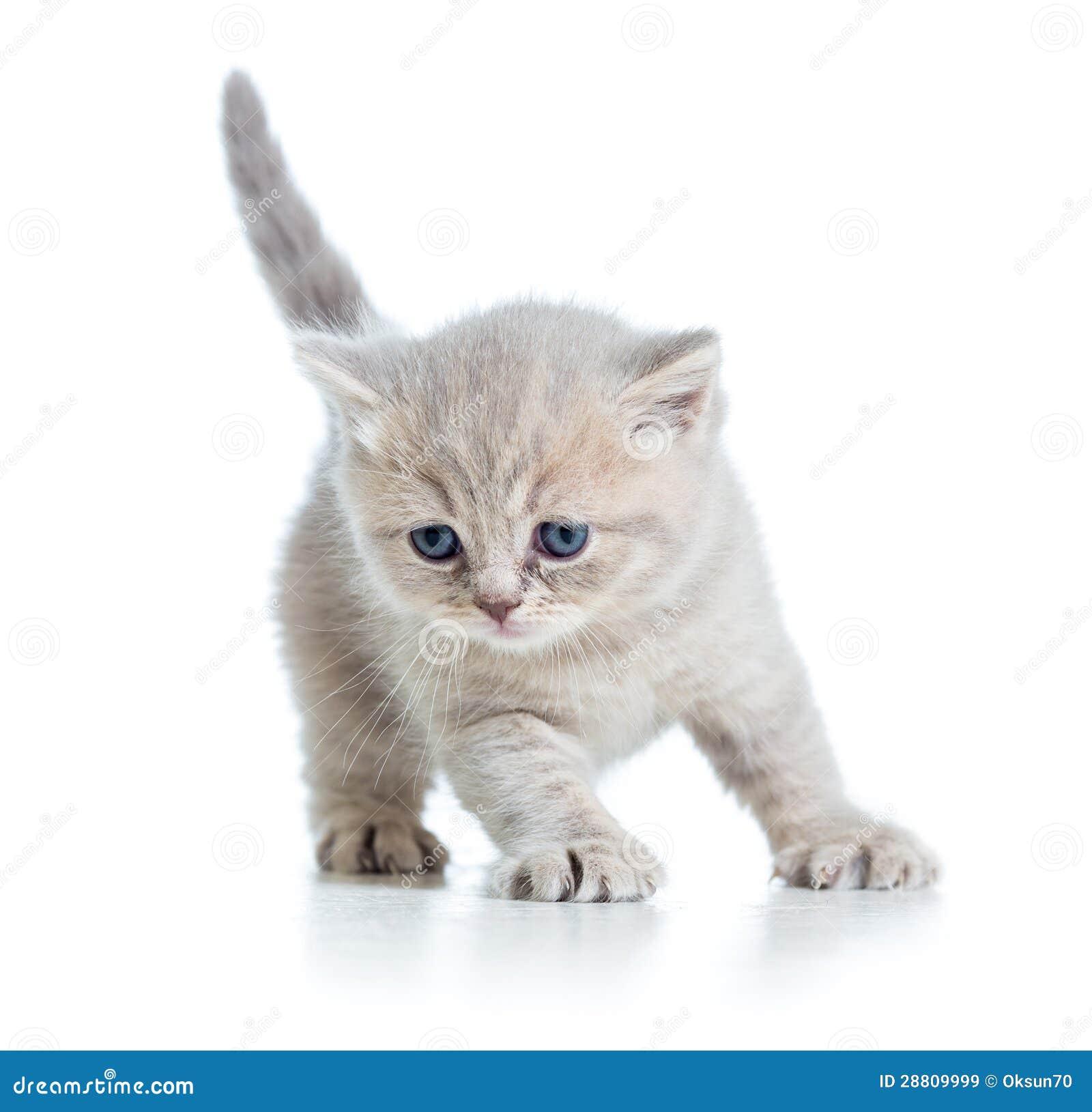 Gatito escocés del gato gris en el fondo blanco